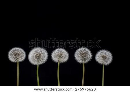 Five dandelion seeds on black background. Dandelion seeds.  - stock photo