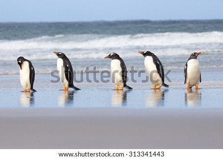 Five Gentoo Penguins in a row at shores edge. Falkland Islands. - stock photo