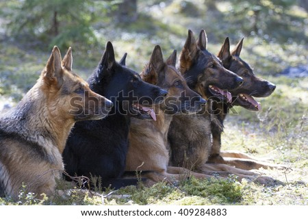 five German Shepherds in forest - stock photo