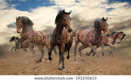 five indomitable bay horse galloping - stock photo