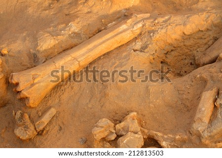 Five million year old fossil bones of extinct mammals, South Africa  - stock photo