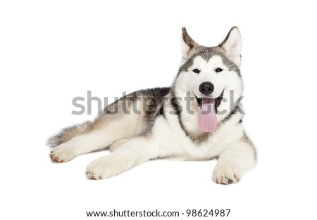 Five month old alaskan malamute puppy against white background - stock photo