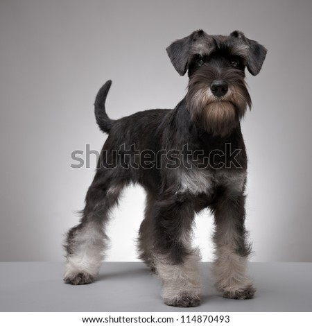 five month old miniature schnauzer puppy - stock photo