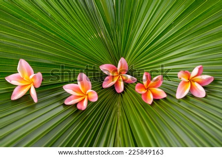 Five pink frangipani on palm leaf texture  - stock photo