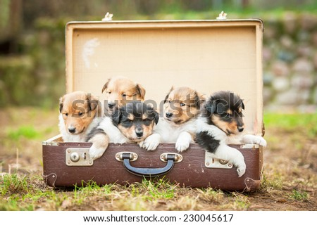Five rough collie  puppies sitting in the suitcase - stock photo