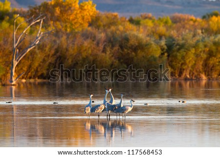 Five Sandhill Cranes celebrate their late-October arrival at Bosque del Apache National Wildlife Refuge in New Mexico - stock photo
