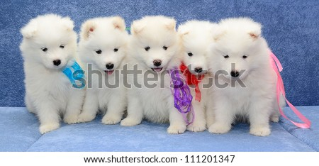 Cute Fluffy Husky Puppies Fluffy Husky Puppy Sitting