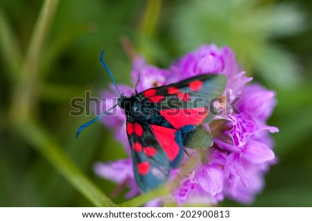 Five Spot Burnet Moth on colourful flower head - stock photo