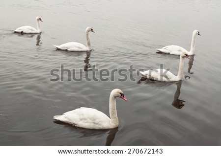 five swans floating on the water - stock photo