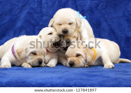 five yellow labrador puppies on blue background - stock photo