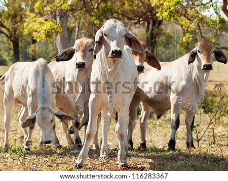 Five young Brahman cows in herd on rural ranch Australian beef cattle - stock photo