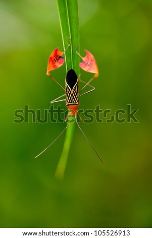 Flag Footed Bug (Anisocelis flavolineata), shot at Costa Rica - stock photo