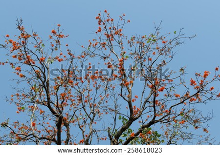 Flame of the forest,Butea monosperma and sky blue ,Thailand - stock photo