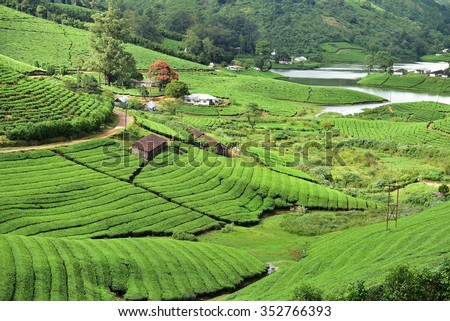 Flame of the forest in the midst of a lush green Tea (camellia sinensis) plantation at Theni, Tamil Nadu. Picturesque landscape. God's own country. Kerala tourism. Incredible India. - stock photo