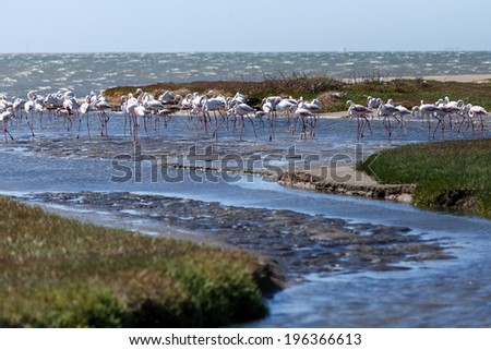 Flamingo Bird in Walvis Bay / Swakopmund, Nambia, Africa - stock photo