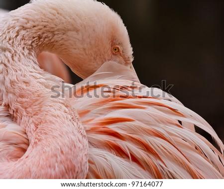 Flamingo closeup - stock photo