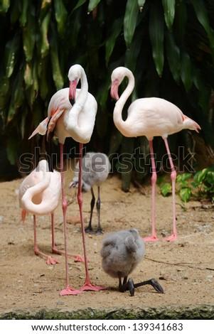 Flamingo Family and baby - stock photo
