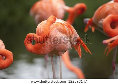 Flamingo freshening up and cleaning beak using feathers. - stock photo