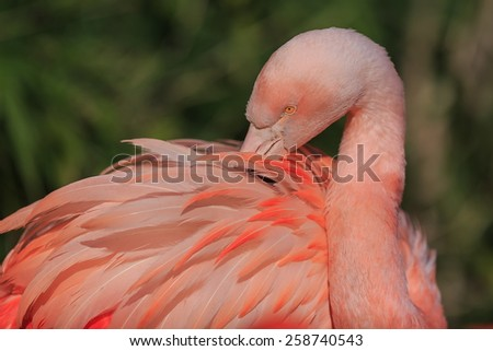 flamingo in detail - stock photo