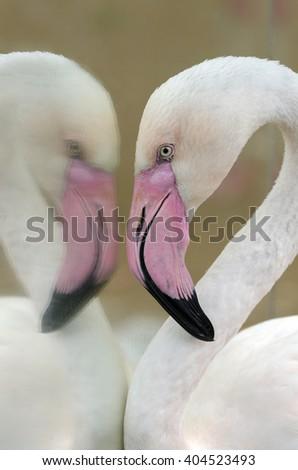 flamingo in the mirror in Brazil - stock photo