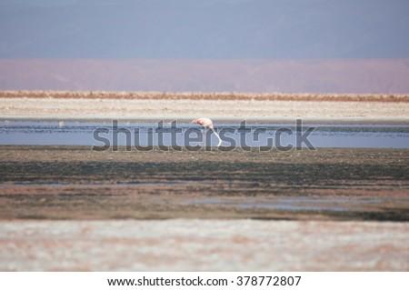 Flamingo on the lake - stock photo