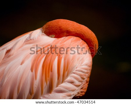 Flamingo with head buried with black background - stock photo