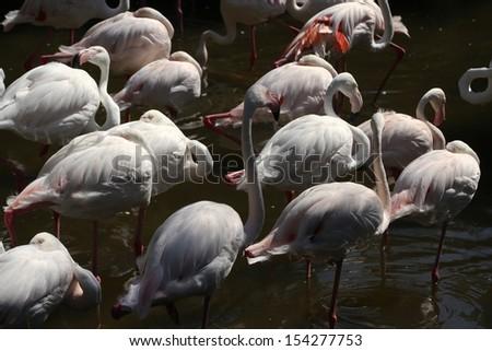 flamingos birds - stock photo