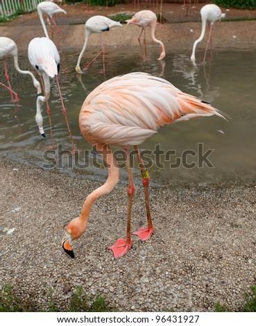 Flamingos in zoo in summer. Dalian. China. - stock photo