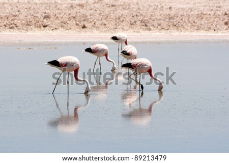Flamingos, Phoenicopterus andinus, in Atacama desert, Chile. - stock photo