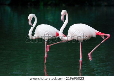 Flamingos standing on the river - stock photo