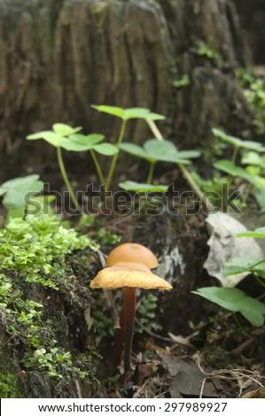 Flammulina velutipes mushrooms on an old stump - stock photo