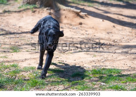 Flat coated Retriever - stock photo
