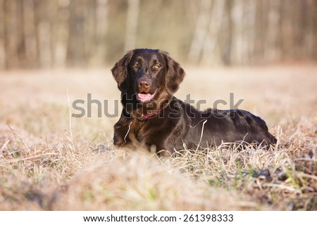 flat coated retriever dog lying down outdoors - stock photo