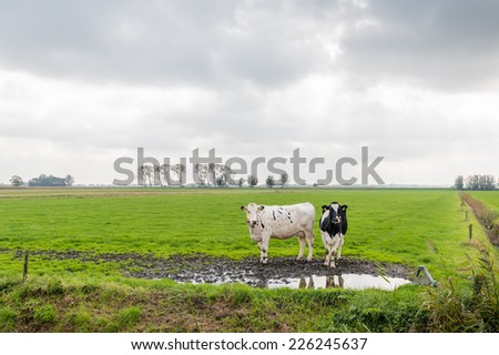 Flat Dutch landscape on a cloudy day with two curiously looking black and white cows standing next to a muddy puddle in the meadow. - stock photo