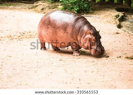 Flat Hippopotamus - stock photo