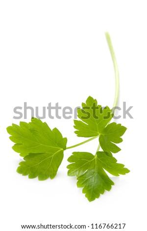 flat leaf parsley close up isolated on white background - stock photo