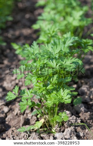 Flat parsley growing in rows in the garden bed - stock photo
