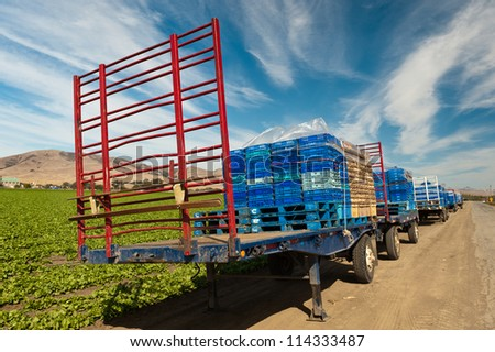 Flatbed trailers with produce boxes parked beside lettuce a field ready for harvest. - stock photo