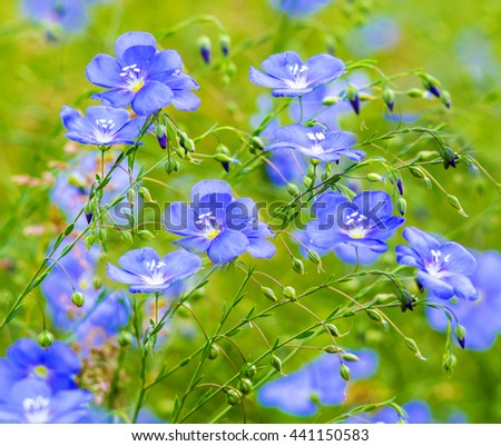 flax flowers. A field of blue flax blossoms. blue flax. blue flax field closeup at spring, shallow depth of field. - stock photo