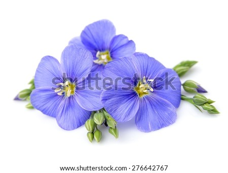 Flax flowers close up on white. - stock photo