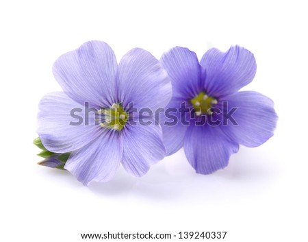 Flax flowers in closeup - stock photo