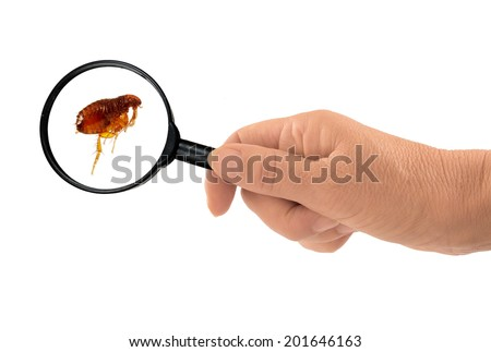 Flea. As brought home by my dog! - stock photo