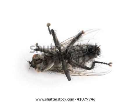 Flesh fly in front of white background, studio shot - stock photo