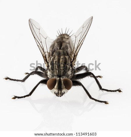 Flesh fly species sarcophaga carnaria isolated on white background - stock photo