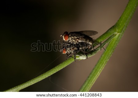 Flies breeding, Mating of fly on blades of grass , Close up of fly - stock photo
