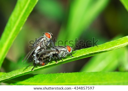Flies breeding, Mating of fly on nature background, Close up of fly - stock photo