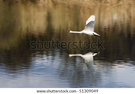 Flight of a swan just above water - stock photo