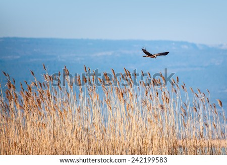 flight over reed beds  - stock photo