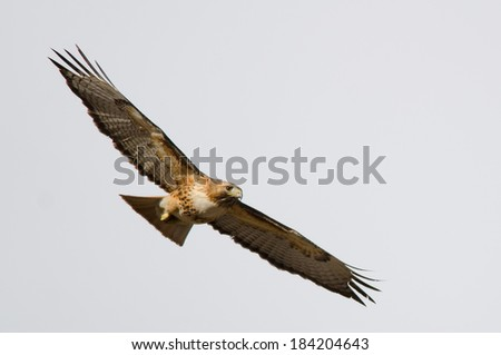 Flight picture of a red-tailed hawk with a clear sky background, taken in Colorado.  - stock photo
