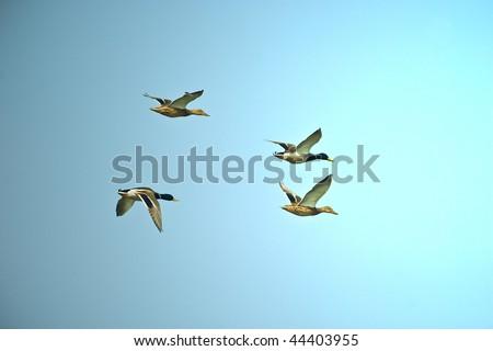 Flighting wild duks on blue sky in sunny day - stock photo
